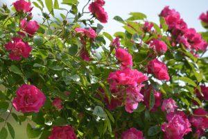 popularne roze pnace